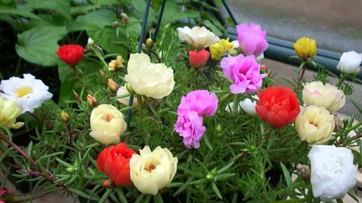 Hoa mười giờ ra hoa