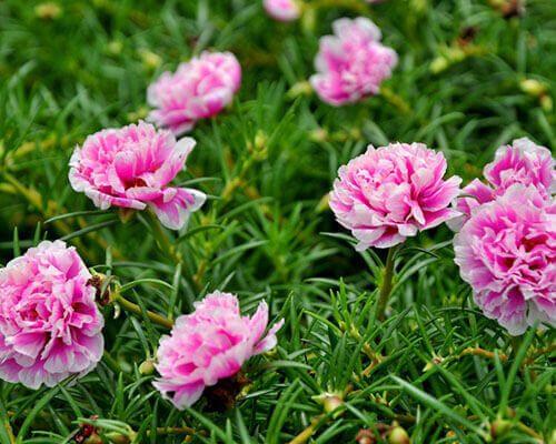 Hoa mười giờ mọc bên đường