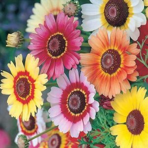 Hạt giống hoa Cúc