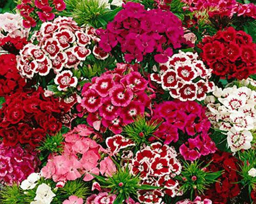 Shop bán hạt giống hoa cẩm chướng chùm mix đảm bảo chất lượng