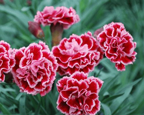 Cung cấp hạt giống hoa cẩm chướng kép mix uy tín tại Thủ Đức