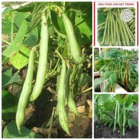 Hạt đậu lùn trắng giúp hỗ trợ xương chắc khỏe